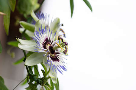 Close-up of the flower of Passiflora edulis or Passion Flower on a natural background.