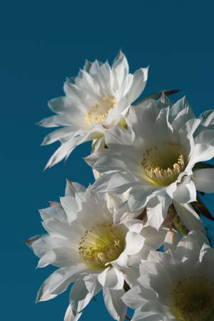 Beautiful white flower of Cactus Echinopsis blooming on sunshine day with natural background Stock Photo