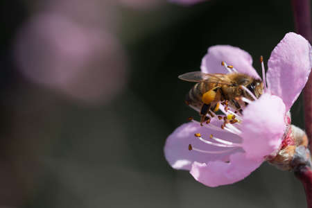honey bee pollinates peach blossom on natural background of blue sky