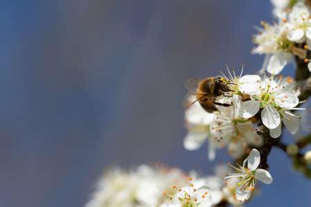 honey bee pollinates prunus blossom on beautiful background of blue sky Imagens