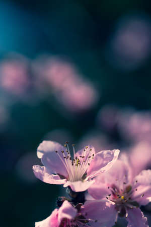 image of soft pink peach blossoms on light blue bokeh background