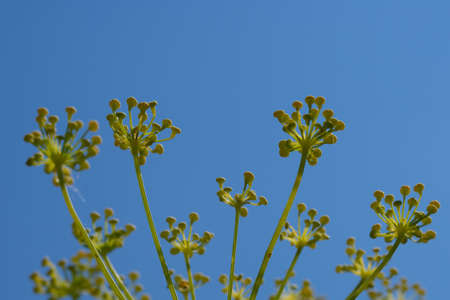 Close up of fennel flowers on blue sky background