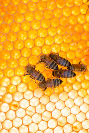 bees at work on cells with shining honeycomb background