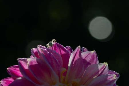 close up of purple dalia flower on a dark background Stock Photo