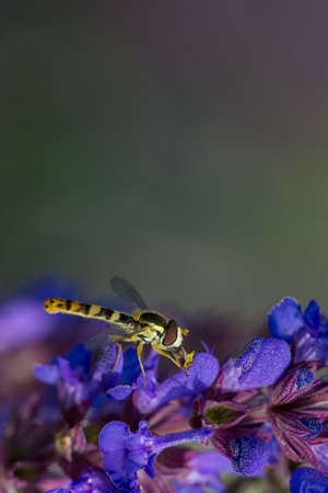 Hover fly Syrphidae collecting nectar from a purple flower