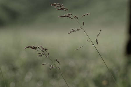 group of spikes of grass on natural background