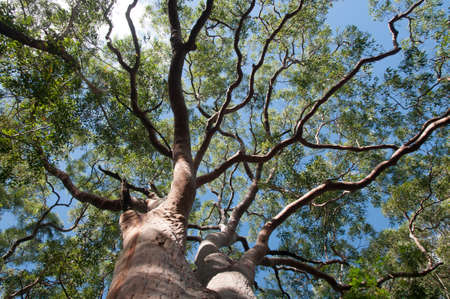 eucalyptus tree view from below with blue sky background,Sydney,Australia