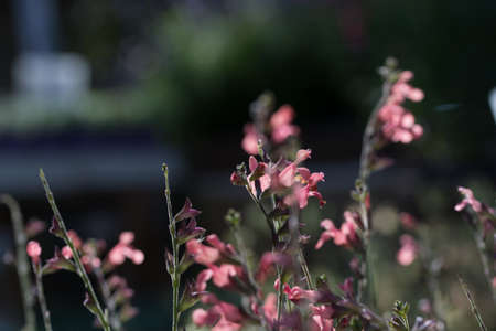 Salvia officinalis pink flowers on dark soft bokeh background