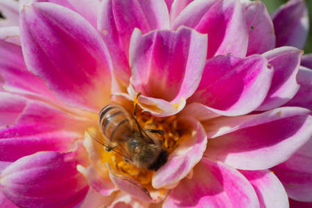 Honey bee collects pollen and from purple Dahlia flower Stock Photo