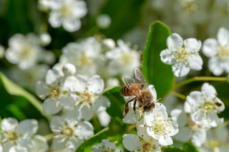 honey bee collects pollen from white pyracantha flowers