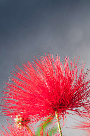 close-up of crimson blossom of flower of Metrosideros excelsa, also called New Zealand Christmas Tree