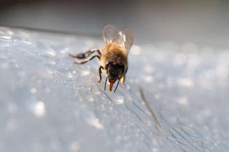 Honey bee, apis mellifera drinks water on white surface