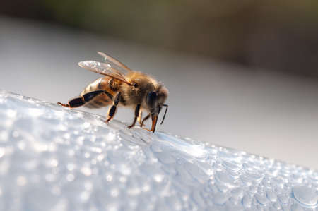 Honey bee, apis mellifera drinks water on white surface