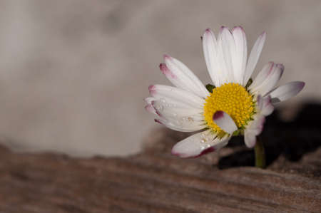 close up of a marguerite,Bellis perennis with wood surface Stock Photo
