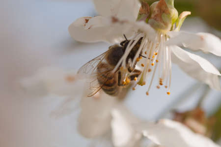 Honey Bee, apis mellifera pollinating a white cherry flower on natural background, springtime