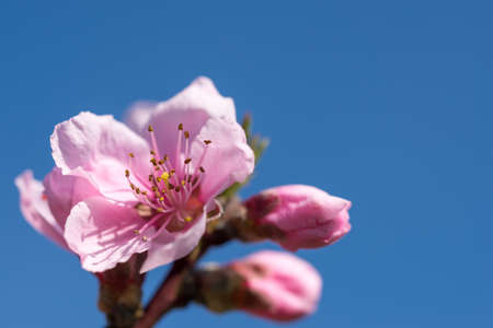 Spring blossom of pink apricot flower on natural background