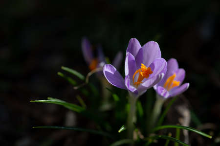 Close up of saffron flowers in a field on natural background Stock Photo