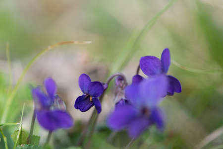 violet viola odorata close up with field backgroun Stock Photo