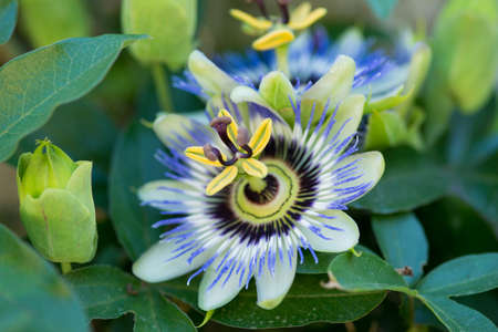 Passionflower close up on natural