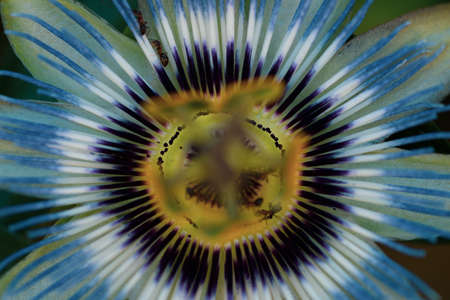 background of passionflower close up Banque d'images
