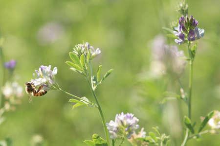 Close-up de miel de abeja poliniza la flor de alfalfa sobre fondo natural