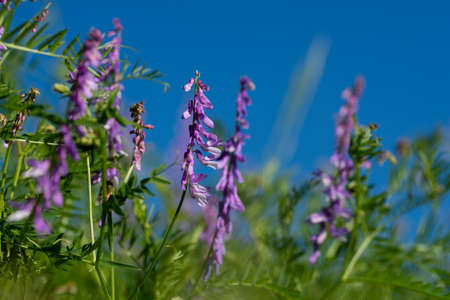 close up of beautiful purple flower of Fumaria officinals in a field