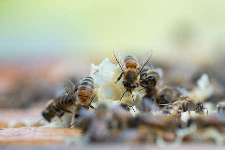 Close up view of honey bees,apis mellifera, working at honeycomb