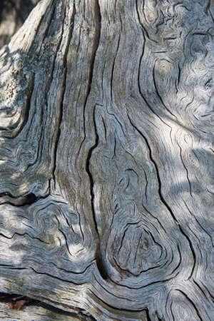 Natural background of a croos section of very old tree trunk