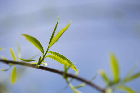 Close up view of the end of a weeping willow branch with newly sprouted leaves in the spring