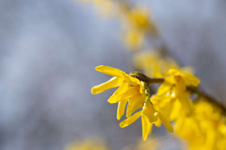 A macro from a forsythia flowers against blue sky and natural background Stock Photo