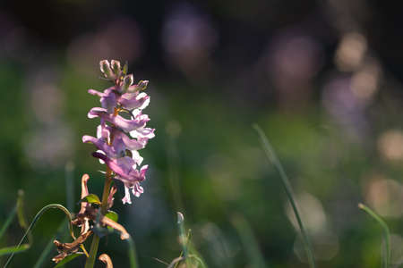 close up of a pink corydalis wild flower on natural dark blackground Stock Photo