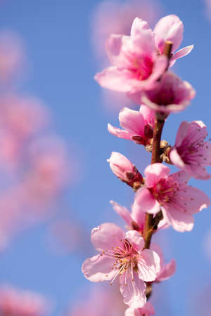 peach pink flower close up on blue sky background