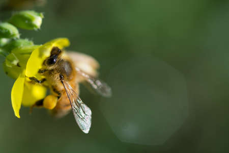 honey bee collects pollen on a wild yellow rocket flower
