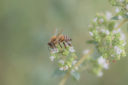 bees at work, collecting nectar on marjoram flower, natural background