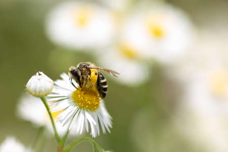 Close up, Macro of solitary Bee on daisy flower collecting pollen.