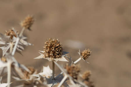 dry thistle on natural sabd colour background