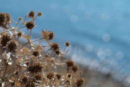 dry thistle on blurred blue sea background,close up