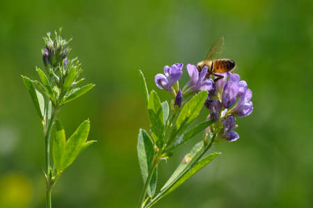Close-up of honey bee pollinates alfalfa flower on natural background