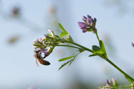 Close-up of honey bee pollinates alfalfa flower on natural Stock Photo