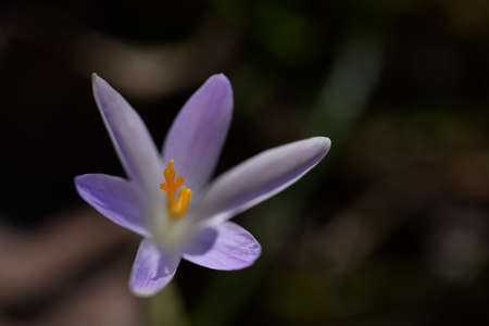 Close up of wild saffron flowers in a field,beautiful springtime blossom