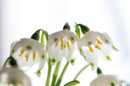 Leucojum vernum,winter bells onbright white background Stock Photo