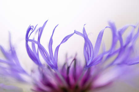 Blue closeup cornflowers, springtime blossom,natural background Stock Photo