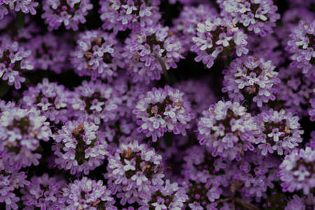 beautiful background thyme spring blossom flowers