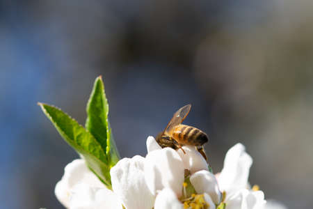 Honey bee pollinating on almond blossoms. Springtime