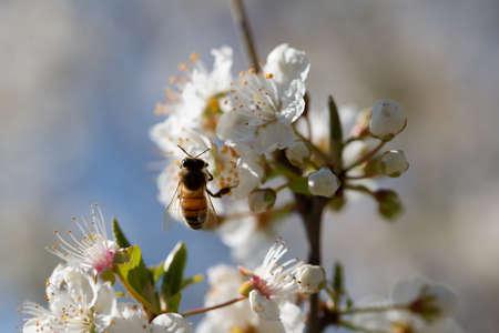 honey bee pollinates prunus blossom on beautiful background Stock Photo