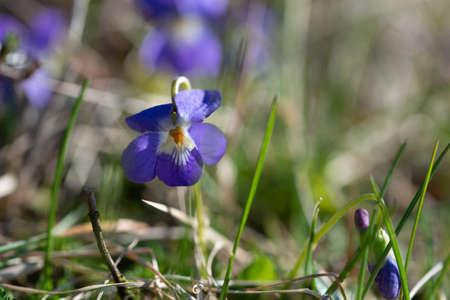 violet viola odorata close up with field backgroun Stock Photo