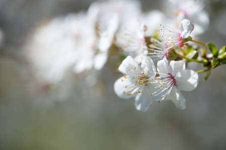closeup of Wild Branches of a blossoming tree with white flowers