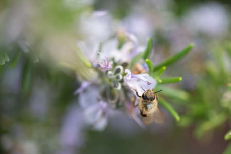 Close-up of honey bee flying on rosemary flowers