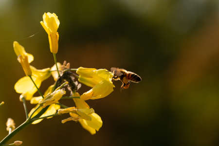 Bees gathering nectar and pollen on the yellow flowers of blossoming Tuscan Kale. Stock Photo