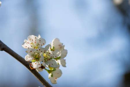 Close-up of the White Cerry Blossom,
